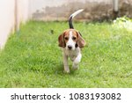 Cute Beagle Dog Running On The...