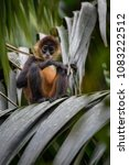 central american spider monkey  ... | Shutterstock . vector #1083222512