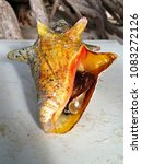 Small photo of Giant colorful Achatinidae snail in its shell on a beach stool. It was instantly released back to the ocean as soon as photographed. Palm Beach, Aruba, Dutch Caribbean, May 14, 2017
