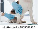 cropped image of veterinarian... | Shutterstock . vector #1083309512