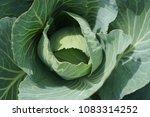 organic farming of fresh green... | Shutterstock . vector #1083314252