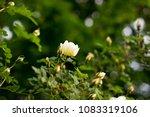 beautiful white bunch flowers...   Shutterstock . vector #1083319106