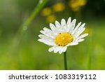 close up of fresh tender open...   Shutterstock . vector #1083319112