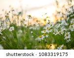 chamomile daisy spring flowers... | Shutterstock . vector #1083319175