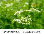 white wild flower on a green...   Shutterstock . vector #1083319196