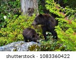 grizzly bears  canada   Shutterstock . vector #1083360422