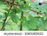 bitter cucumber  bitter gourd ... | Shutterstock . vector #1083385022