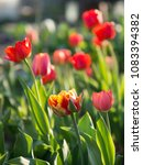 beautiful red tulips in the... | Shutterstock . vector #1083394382