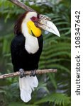 Small photo of Wreathed Hornbill (Aceros Undulatus),Bali - Indonesia