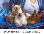 Stock photo small kittens thai and burmese breed on a blue cover 1083489512