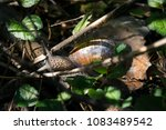 a snail at the tree branch | Shutterstock . vector #1083489542