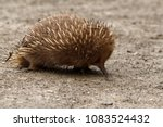 echidnas sometimes known as... | Shutterstock . vector #1083524432
