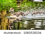an adult nilegoose swimming in...   Shutterstock . vector #1083528236