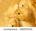 Several Small Ducklings On A...