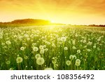 Dandelions In Meadow During...