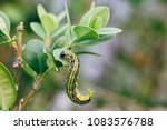 cydalima perspectalis  know as... | Shutterstock . vector #1083576788
