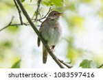 singing nightingale is perched... | Shutterstock . vector #1083597416