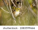 the silvereye or wax eye ... | Shutterstock . vector #1083599666