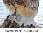 beaver eaten tree | Shutterstock . vector #10836223