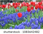 Red Tulips And Blue Grape...