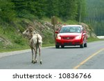 A Big Horn Sheep Crossing...