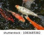 beautiful  crocodile  diving. | Shutterstock . vector #1083685382