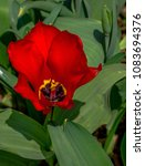 Small photo of Deep Red Petals on a Large Tulip Against a Green Leafed Background
