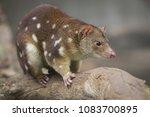 tiger quoll australian animal | Shutterstock . vector #1083700895