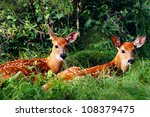 Two Whitetail Fawn Resting...