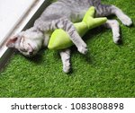 Stock photo cute short hair young asian kitten cat black and white stripes as house pet playing relaxing on 1083808898