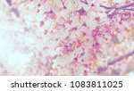 "pink cassia"" cassia bakeriana... | Shutterstock . vector #1083811025"