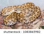hungarian meadow viper  vipera... | Shutterstock . vector #1083865982