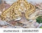 hungarian meadow viper  vipera... | Shutterstock . vector #1083865985