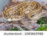 hungarian meadow viper  vipera... | Shutterstock . vector #1083865988