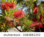 melaleuca citrina  commonly... | Shutterstock . vector #1083881252