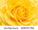 Yellow Rose Closeup Background