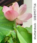 Small photo of Lotus pink flower, Beauty water lily flower, This plant is an aquatic perennial. Under favorable circumstances its seeds may remain viable for many years