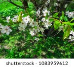 snow white branches of blooming ... | Shutterstock . vector #1083959612