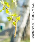 birch catkins on a branch... | Shutterstock . vector #1083971468