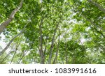 burmese ebony tree forest in... | Shutterstock . vector #1083991616