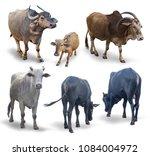 isolated buffalo  calf  black... | Shutterstock . vector #1084004972