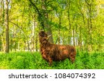 scottish highlander beef  rubs... | Shutterstock . vector #1084074392