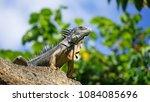 fierce grey iguana standing on... | Shutterstock . vector #1084085696