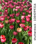 colourful fresh spring tulips... | Shutterstock . vector #1084099316
