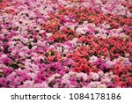 beautiful of colorful rose... | Shutterstock . vector #1084178186