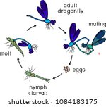 life cycle of dragonfly.... | Shutterstock .eps vector #1084183175