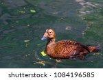 orange  tan  and black plumage... | Shutterstock . vector #1084196585