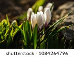 white crocuses growing on the... | Shutterstock . vector #1084264796