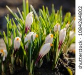 white crocuses growing on the... | Shutterstock . vector #1084264802