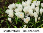 white crocuses growing on the... | Shutterstock . vector #1084264826